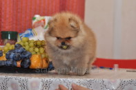 щенок померанского шпица от Bugsy, photo puppies pomeranian