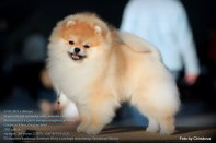 Померанский шпиц от DW и Старпом Шамаханская Царица Ева, puppies pomeranian 2012