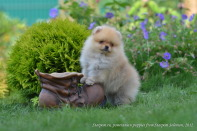 щенок померанского шпица от Старпом Соломона, photo puppies pomeranian