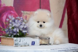 щенок от Ch USA CR Chase Your Dreams, photo puppies pomeranian