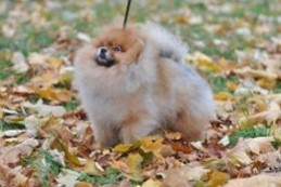 Pomeranian Ch Mythical Reach'N For The Stars Cosmo