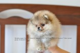 Щенок померанского шпица (девочка) от DW | Pomeranian puppy (female), from CH Island's Hanging With The Band (DW) x Starpom Tutta Larsen, photo 18.09.2011