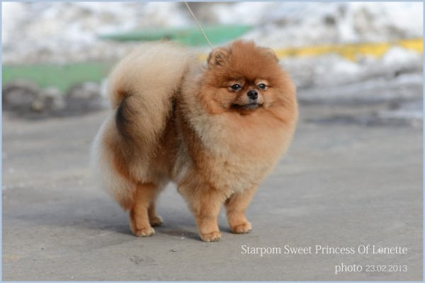 Померанский шпиц Starpom Sweet Princess Of Lenette