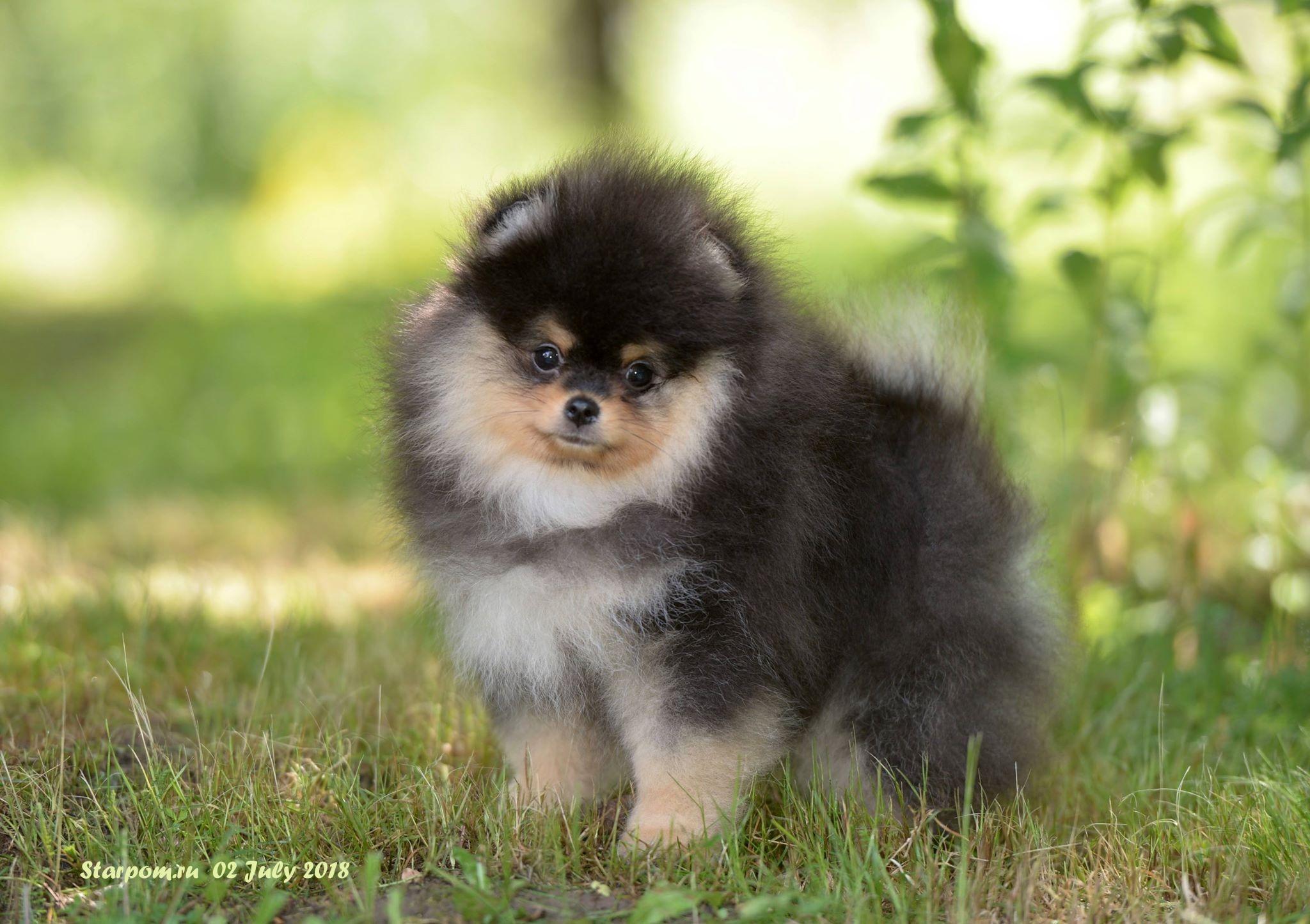 характер породы собаки батакский шпиц