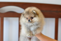 щенок померанского шпица от CH Island's Hanging With The Band (DW), photo puppies pomeranian