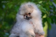 Померанский шпиц от DW-1, puppies pomeranian 2014