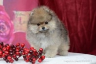 Померанский шпиц от DW-3, puppies pomeranian 2014