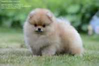 Померанский шпиц от DW-4, puppies pomeranian 2014
