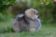 Померанский шпиц от DW-10, puppies pomeranian 2014