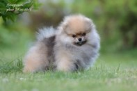 Померанский шпиц от DW-5, puppies pomeranian 2014