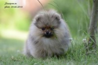 Померанский шпиц от DW-6, puppies pomeranian 2014
