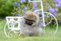 Померанский шпиц от DW-7, puppies pomeranian 2014