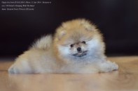 Померанский шпиц от DW-8, puppies pomeranian 2014
