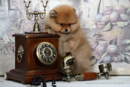 щенок померанского шпица Старпом Ким, photo puppies pomeranian