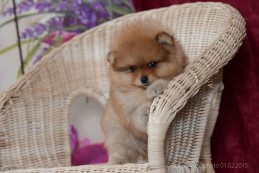 щенок померанского шпица Старпом Кей, photo puppies pomeranian