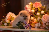 Померанский шпиц от DW, puppies female-3 pomeranian 2016