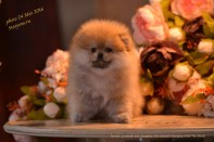 Померанский шпиц от DW, puppies female-2 pomeranian 2016