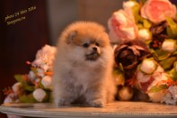 Померанский шпиц от DW, puppies female-1 pomeranian 2016