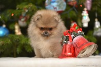 щенок от Starpom Becky, photo puppies pomeranian