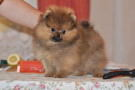 Щенок померанского шпица (мальчик) от Бугси и Хилари | Pomeranian puppy (male), Algens Lil Gansta Of Lenette x Hilary Of Damascusroad, photo 14.05.2009