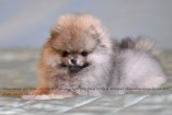 Щенок померанского шпица (девочка) от DW | Pomeranian puppy (female), from CH Island's Hanging With The Band (DW) x Starpom Shamahanskaya Tsaritsa Eva, photo 30.09.2011