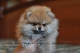Щенок померанского шпица (девочка) от DW и Желтая Хризантема София | Pomeranian puppy (female), from CH Island's Hanging With The Band (DW), photo 02.10.2011
